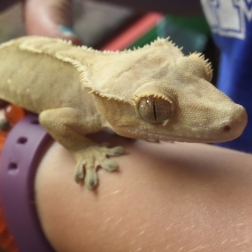 Glen the crested gecko